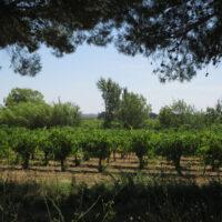 Massamier-Vignoble-IMG_0705
